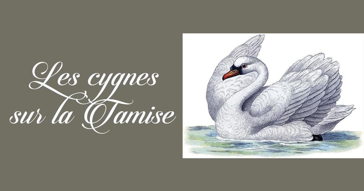 La majesté des cygnes sur la Tamise. Un plaisir royal !