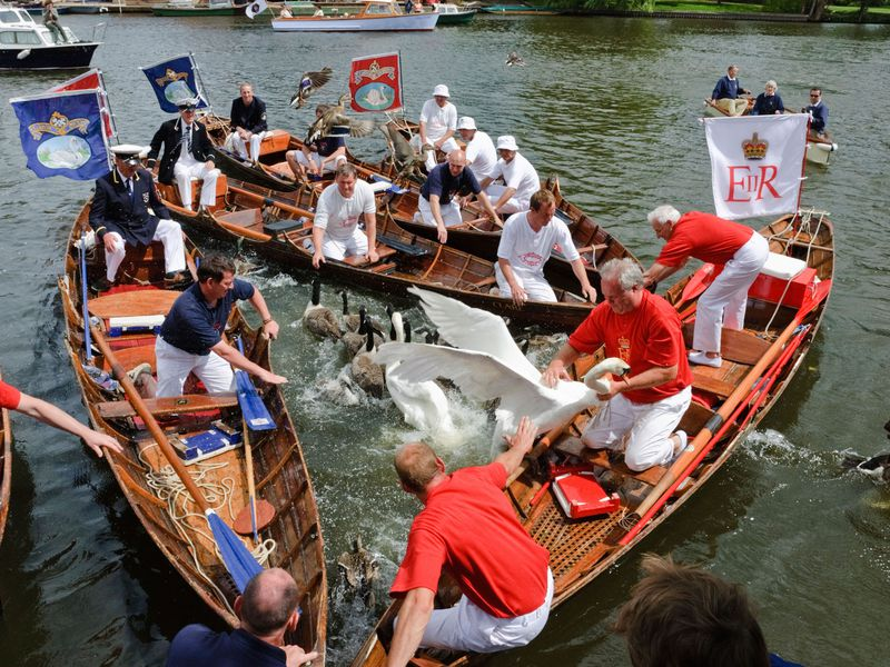 swan upping cygnes tamise